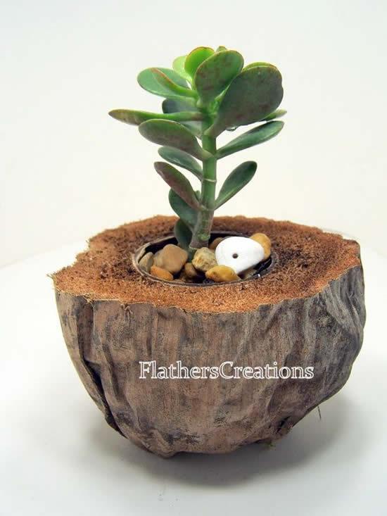 Dicas para plantar suculentas no coco