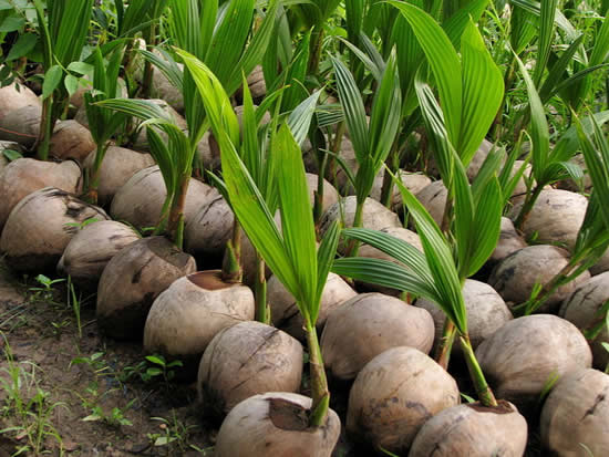 Dicas para plantar em cocos