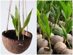 Como plantar em cocos