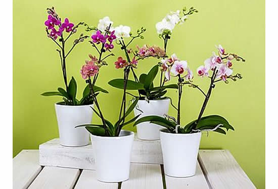 Comprei uma orquídea! Como cuidar?