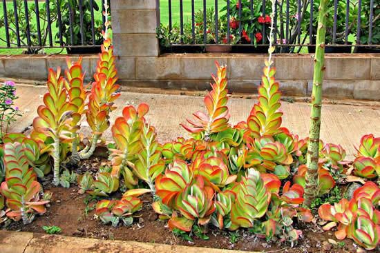 Jardim com suculentas para inspiração