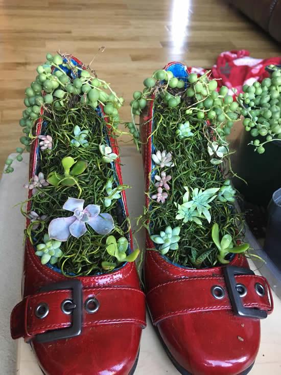 Lindas suculentas plantadas em sapatos
