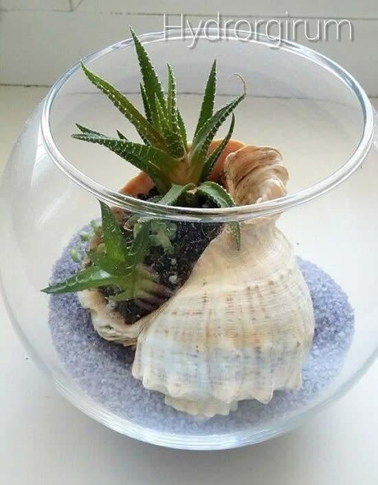 Lindas suculentas em conchas