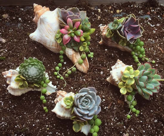 Plante suculentas em conchas