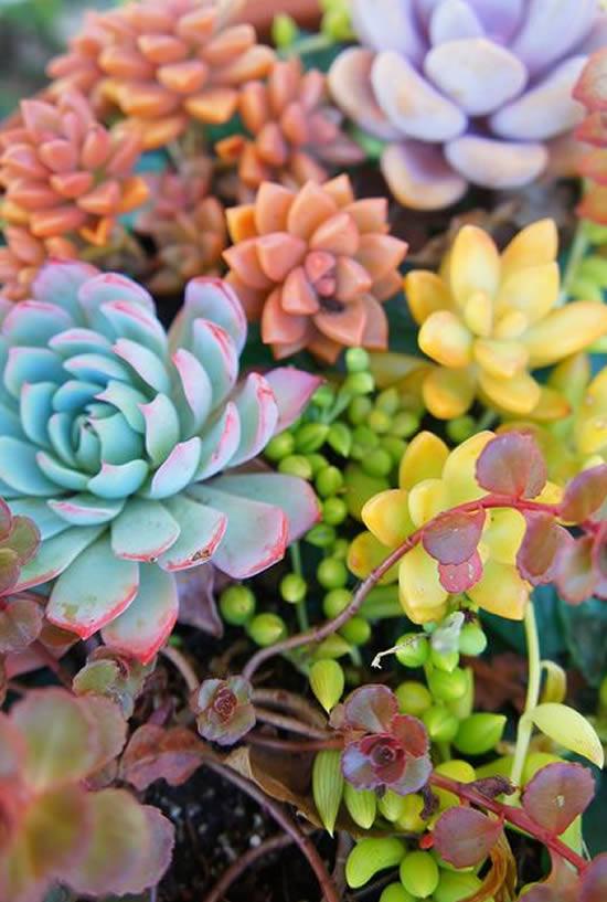 Suculentas coloridas - Como obter cores lindas em suas plantas