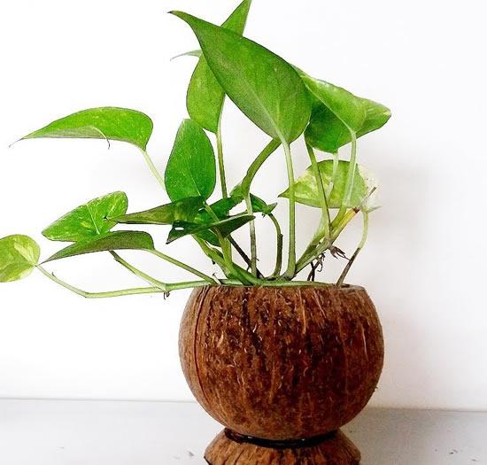 Plante em vasos de coco