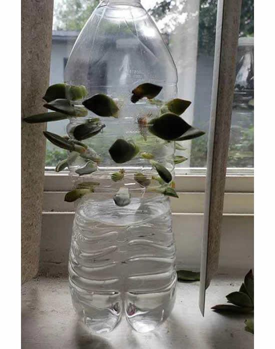 Mudas de suculentas em garrafas plásticas