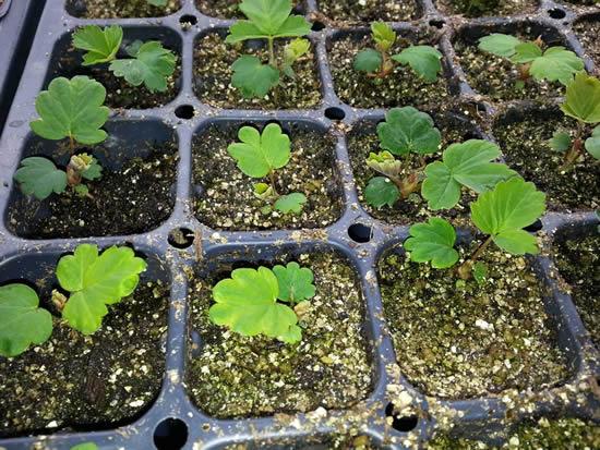Aprenda a plantar morangos