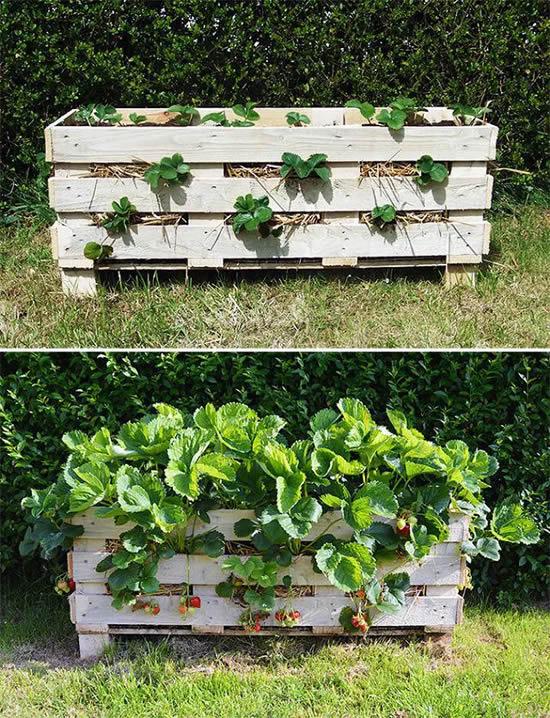Plantar morangos de forma criativa