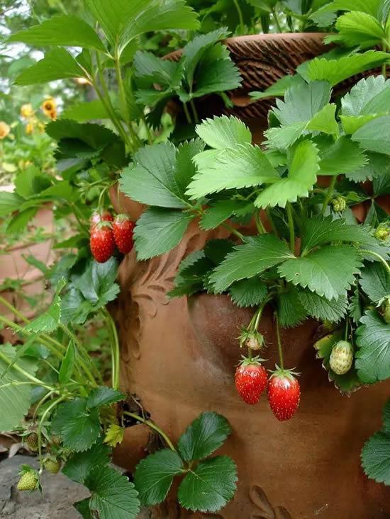 Plante morangos em casa