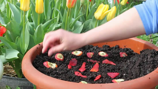 Dicas para plantar morango